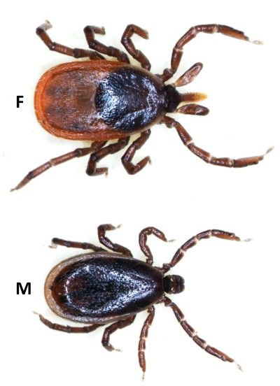 Image from http://entoweb.okstate.edu/ddd/images/blackleggedtick.jpg. Black-legged tick