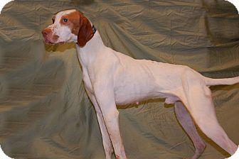 Lexington Ky English Pointer Meet Flae A Dog For Adoption W Homeward Bound Homewardbound1818 Yahoo Com Sporty Dog Dog Adoption English Pointer