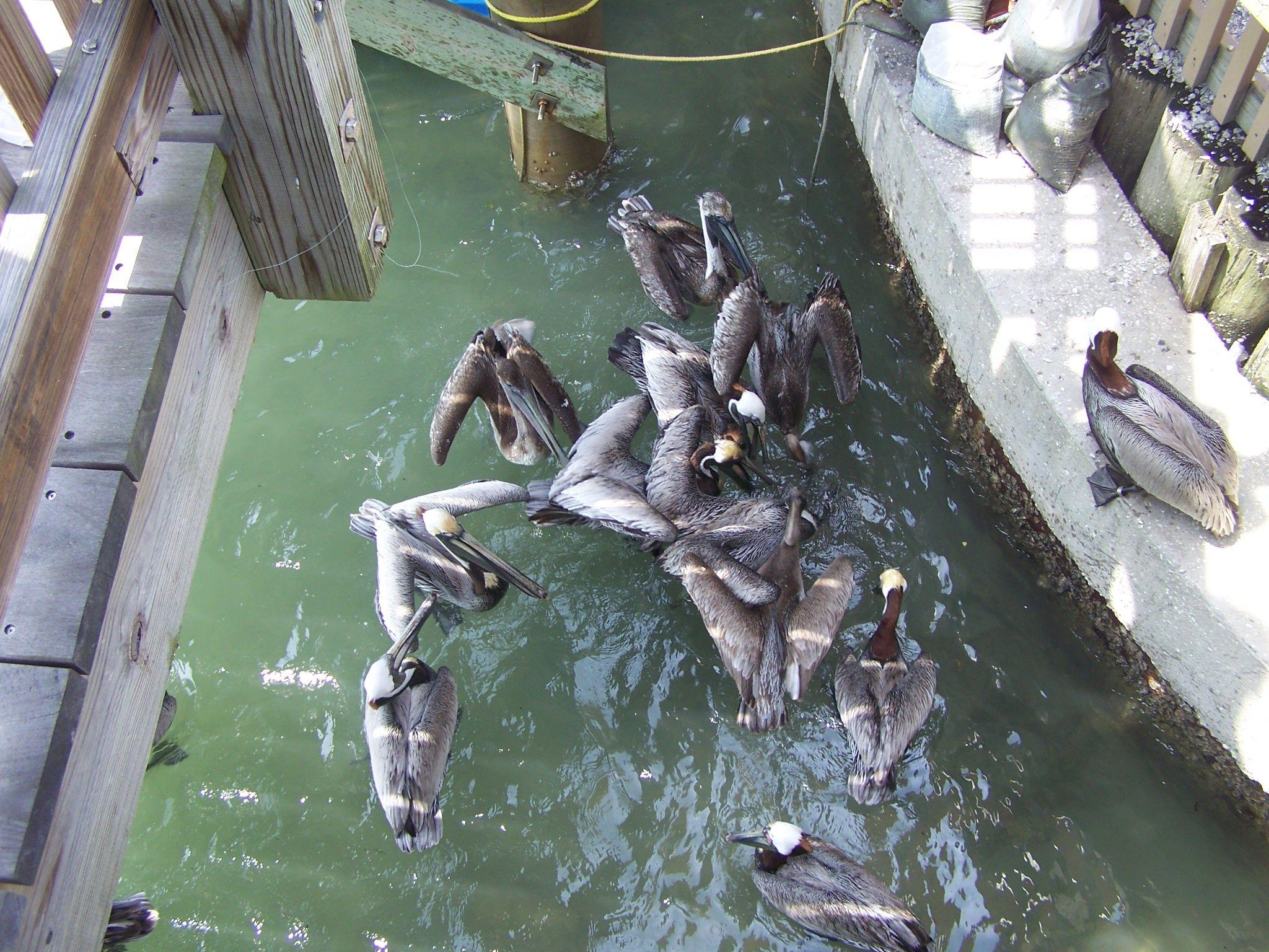 Pelicans enjoying fish scraps