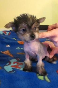 Yorkie Puff S Yorkie Hairless Chinese Crested Mix Omg Chinese Crested Dog Chinese Crested Hairless Dog