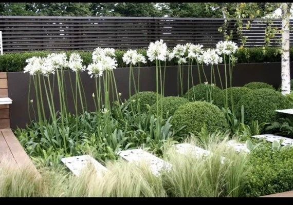 2 White Lily Agapanthus Plants Rooted Bulbs #modernegärten