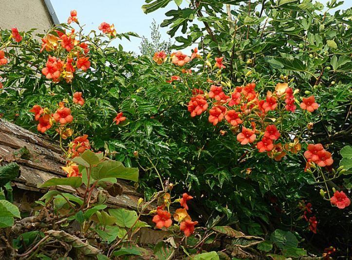 la bignone une grimpante id ale pour l 39 t fleurs et jardins pinterest jardines plantas. Black Bedroom Furniture Sets. Home Design Ideas