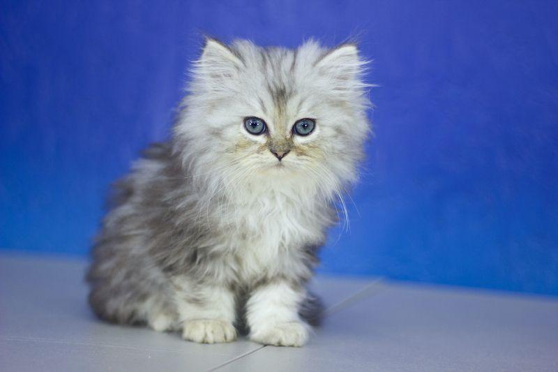 Cosmic silver tabby male ragamuffin kitten ragamuffin