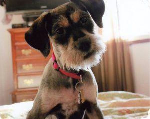 Maisley is an adoptable Schnauzer Dog in Sharonville, OH.   Hi there,  My name is Maisley....strange name I know