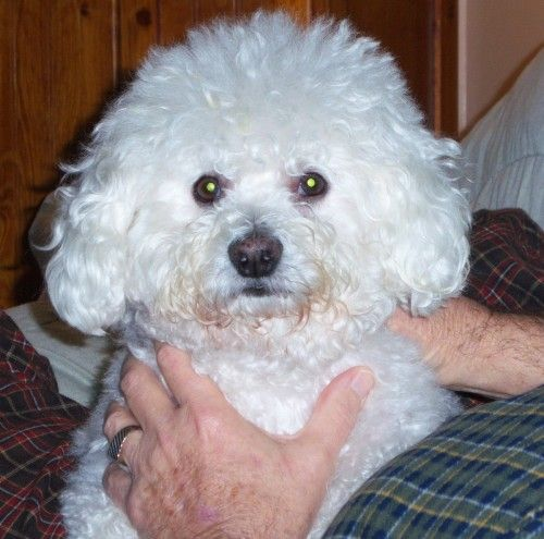 Adopt We Need Fosters On Petfinder Bichon Frise Dogs Bichon Frise Dog Memorial