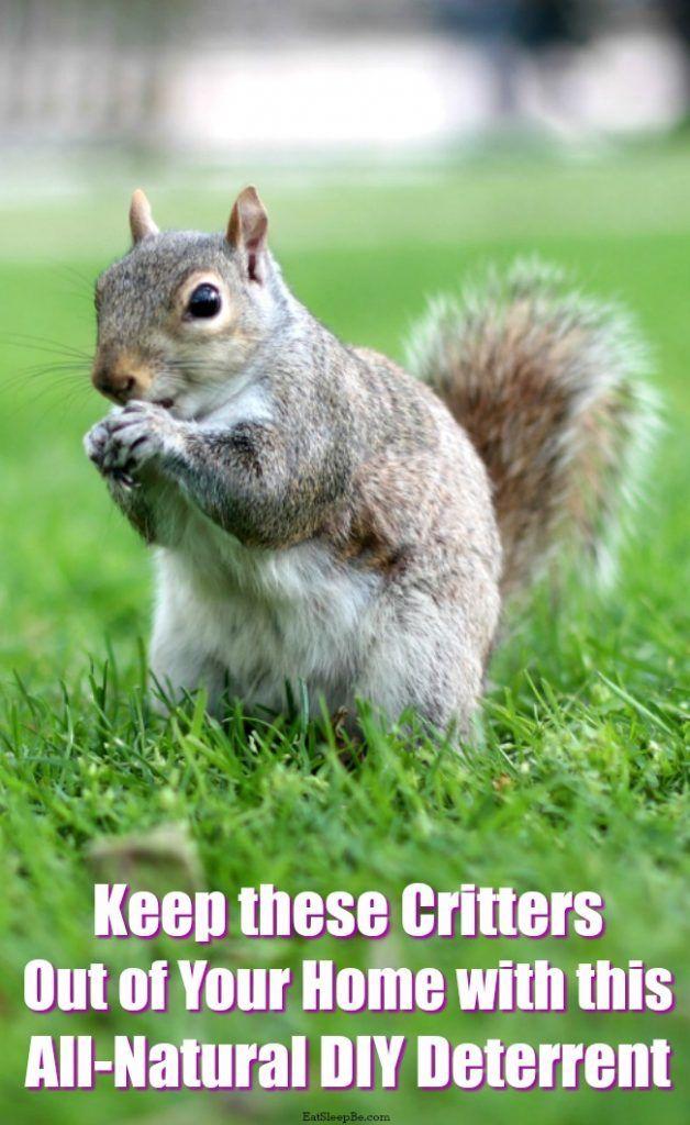 This All Natural Diy Squirrel Deterrent Can Send Those Creatures Packing Get Rid Of Squirrels Squirrel Repellant Squirrel