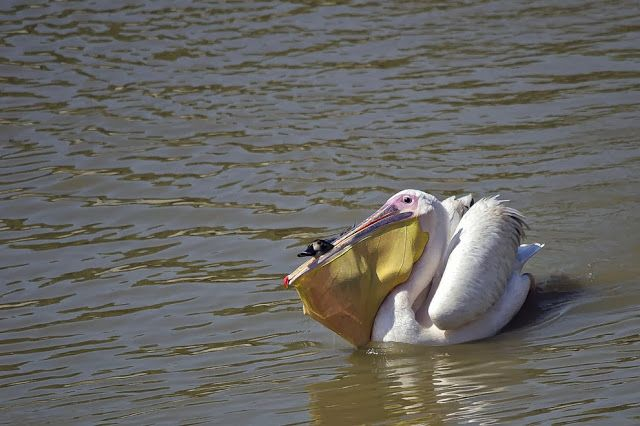 Sólo un pelícano que come patos Esta inusual imagen nos muestra a un porrón común (Aythya ferina) intentando escapar de un pelícano.