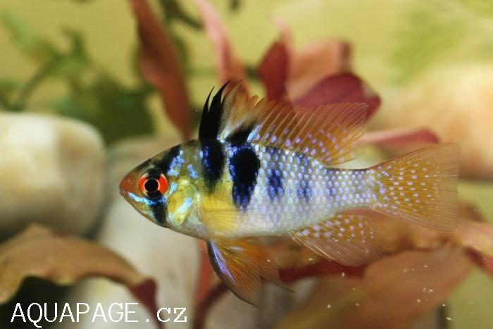 Papiliochromis Ramirezi Dwarf Cichlid Dwarf Cichlid S