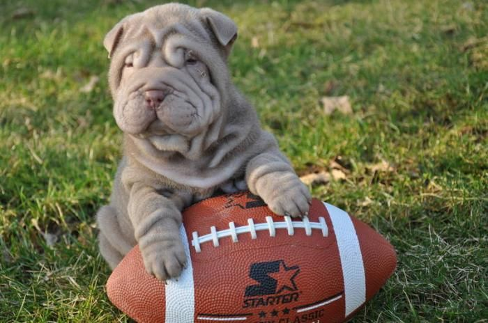 Mini Lilac Shar Pei Want So Bad Love Those Wrinkles Kyia