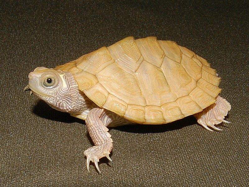 Leucistic Mississippi Map Turtle http://www.theturtlesource.com/i.asp?id=100200364&p=Leucistic-Mississippi-Map-Turtle