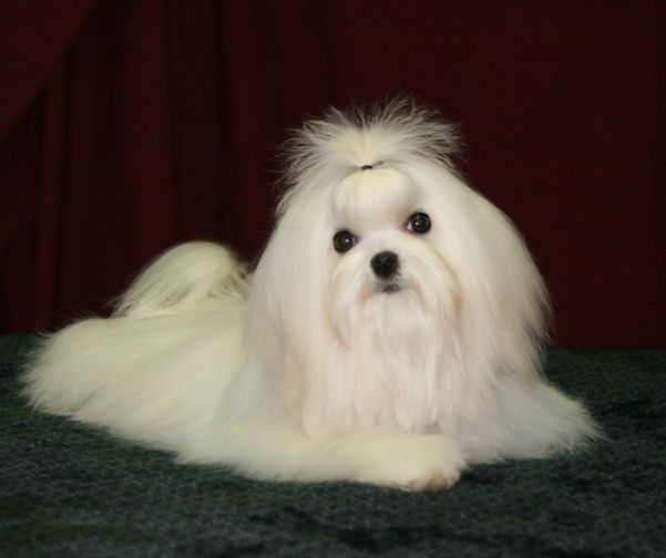 I Wish Lily S Coat Could Be Like That Maltese Dogs Maltese Puppy
