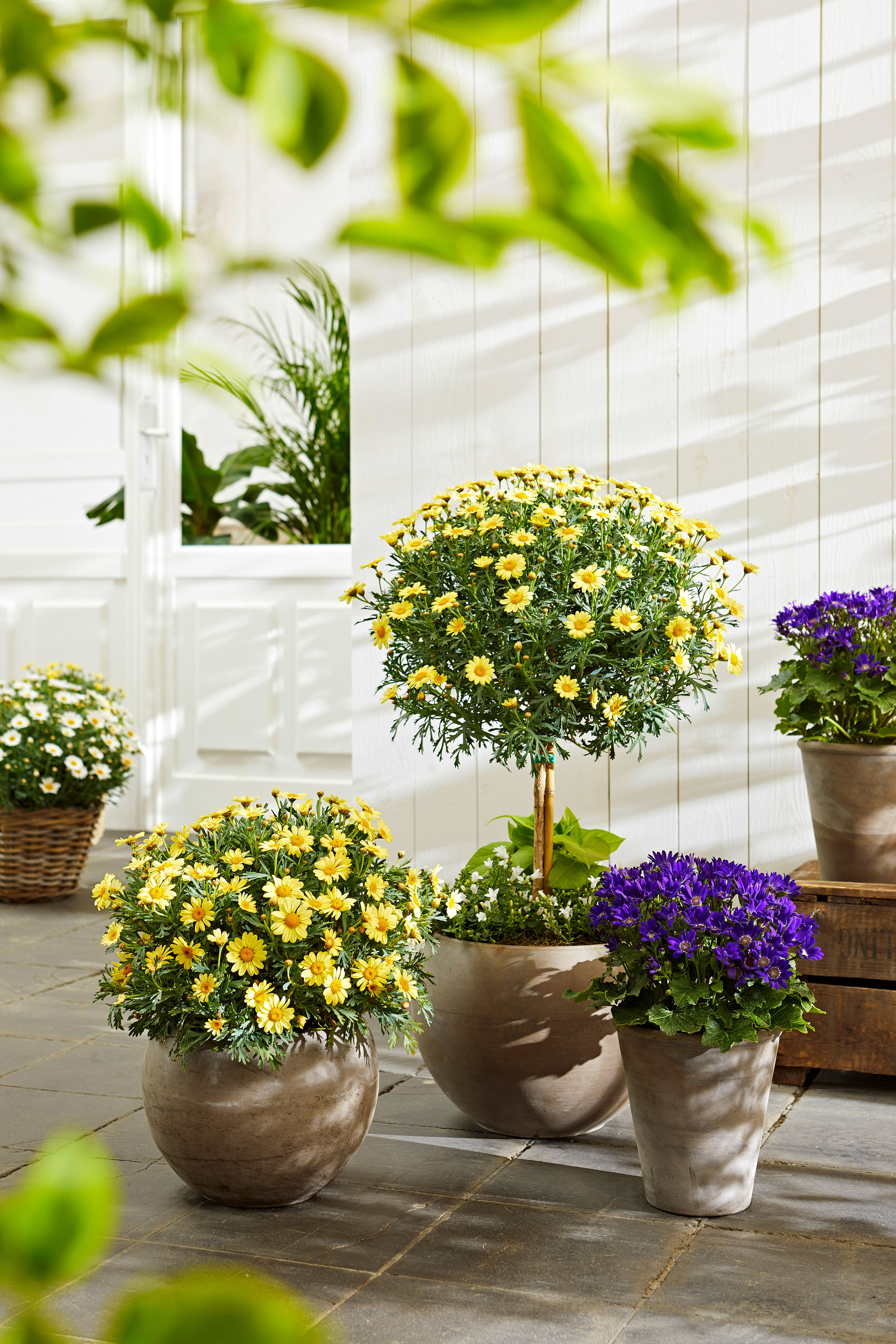 Super Kombination Margeriten Sternblumen Sommerblumen Margeriten Kubelpflanzen