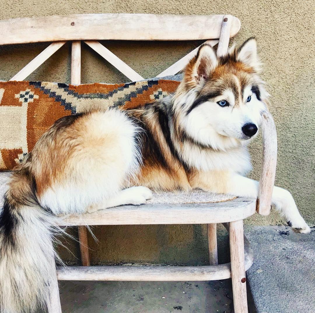 Pomsky Named Whinnie Hunde Tiere Bilder