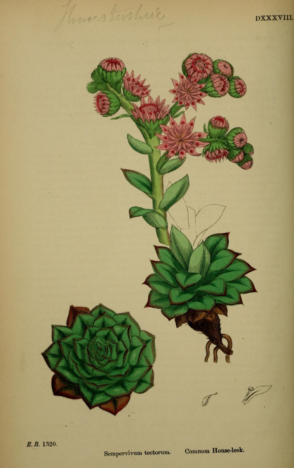 English botany, or, Coloured figures of British...