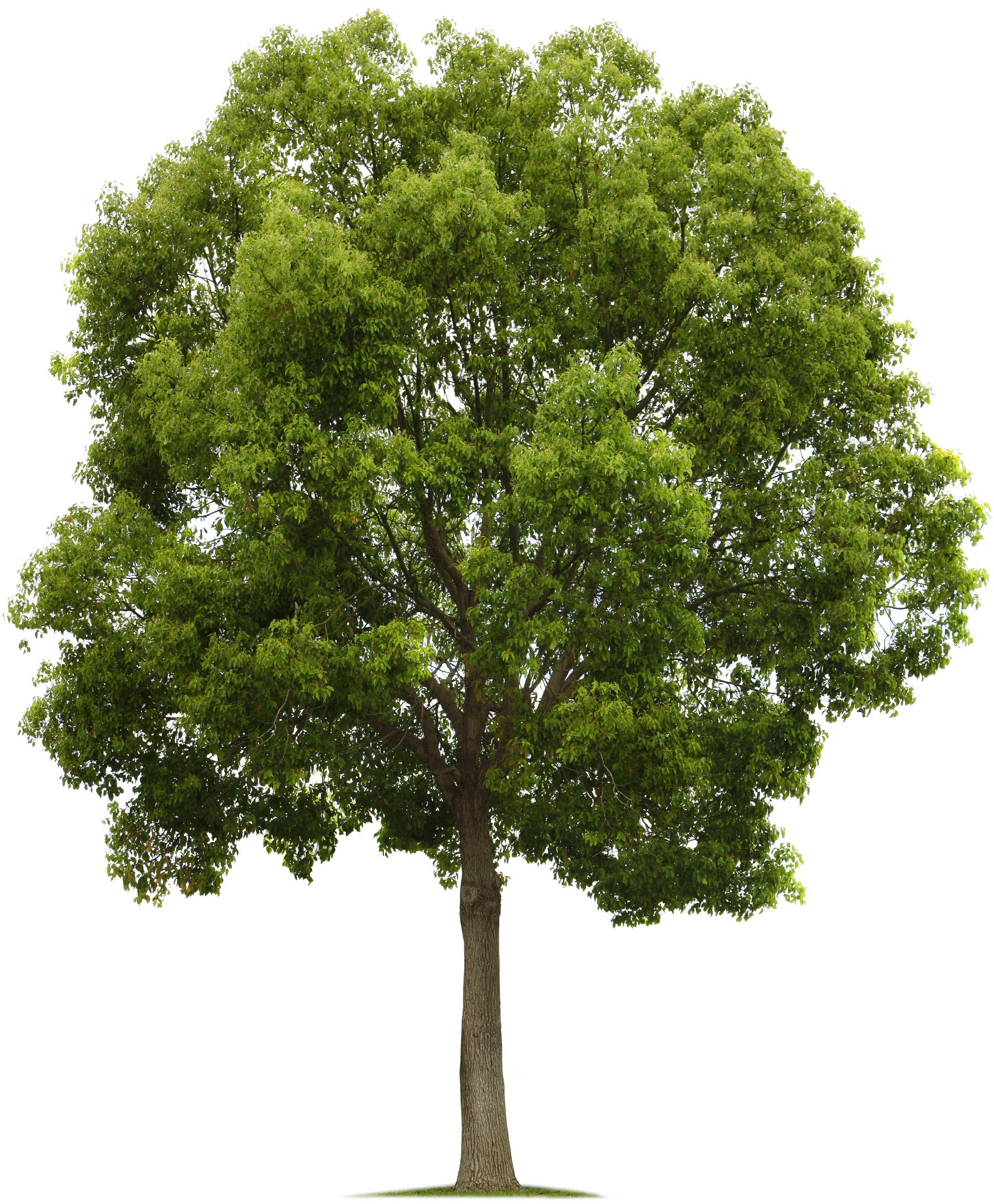 Tree.png (1903×2304) | PNG | Pinterest | Photoshop ...