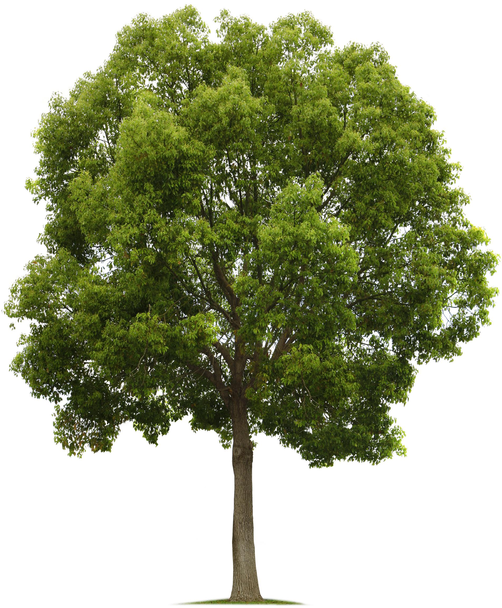 Gambar Pohon Png : gambar, pohon, Tree.png, (1903×2304), Tanaman,, Pohon,, Gambar