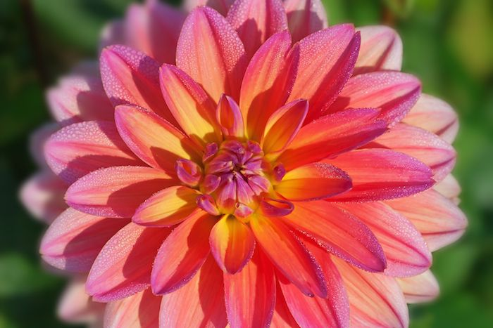 Dahlia Flower Its Meanings Symbolism When It Comes To Building A Bouquet That Really Stands O Dahlia Flower Pictures Dahlia Flower Flower Pictures