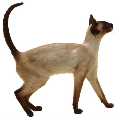 Siamese Cats — Weetzie's