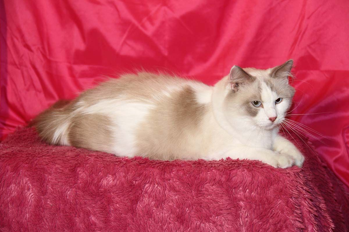 Trixie Who Came To Us Pregnant Surprise And Had Her First Litter Aug 19 2016 Ragdoll Cat Kittens Cats And Kittens