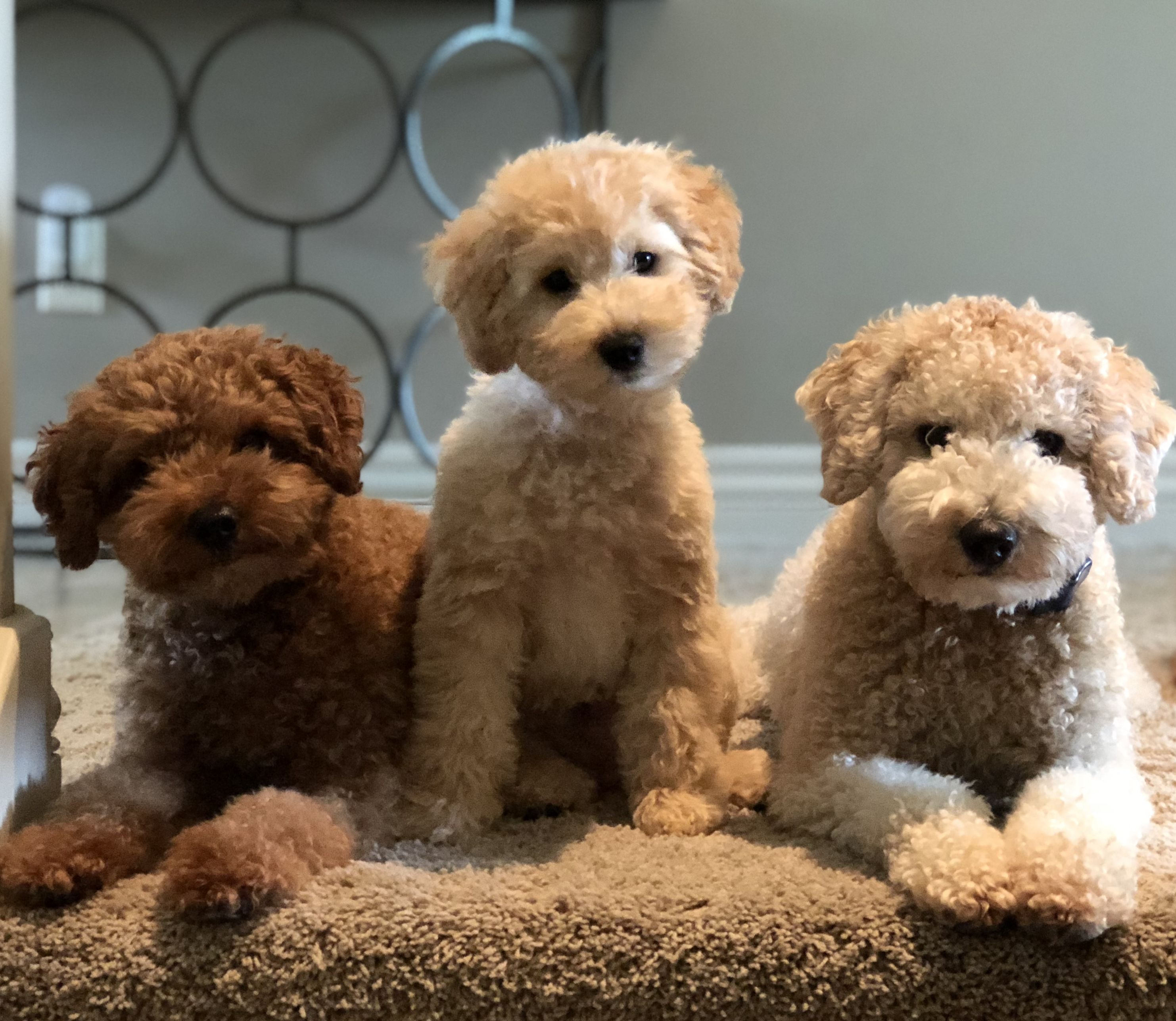 Teddy bear puppies for sale in midwest