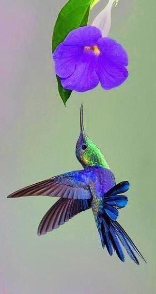 Beautiful purple blue hummingbird.