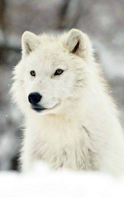 Arctic Wolf Artic Wolf Arctic Wolf Wolf Spirit Animal
