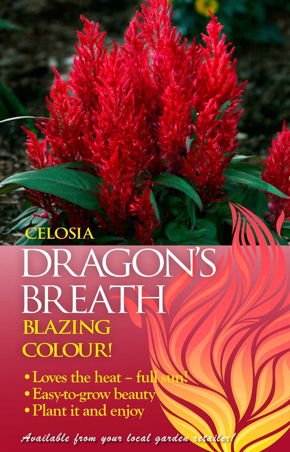 Celosia Dragons Breath Advert Dragons Breath Dragons Breath Plant Garden Plants Vegetable