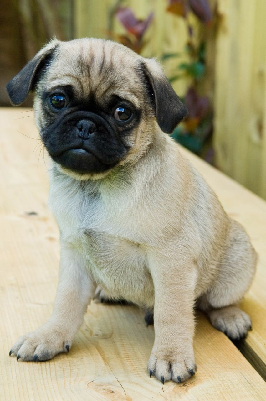 Picture Of Pug Dog Breed That Will Help Get Rid Of Your Stress