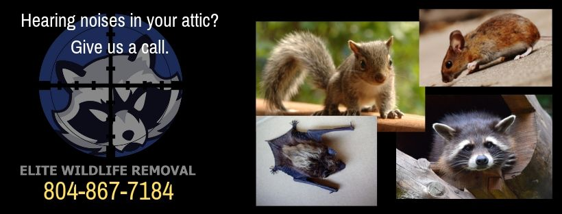 Don T Let Nuisance Wildlife Pests Rob You Of Any Time Away From Your Daily Activities Give Elite Wildlife Removal A Call At 80 Wildlife Squirrel How To Remove