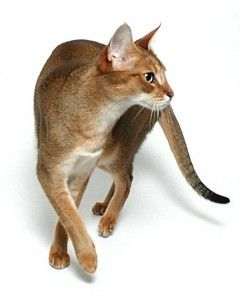 Chausie:gluten free cat! All meat diet  Good substitute from the savanah or bengal. not a family cat. social and outgoing and active