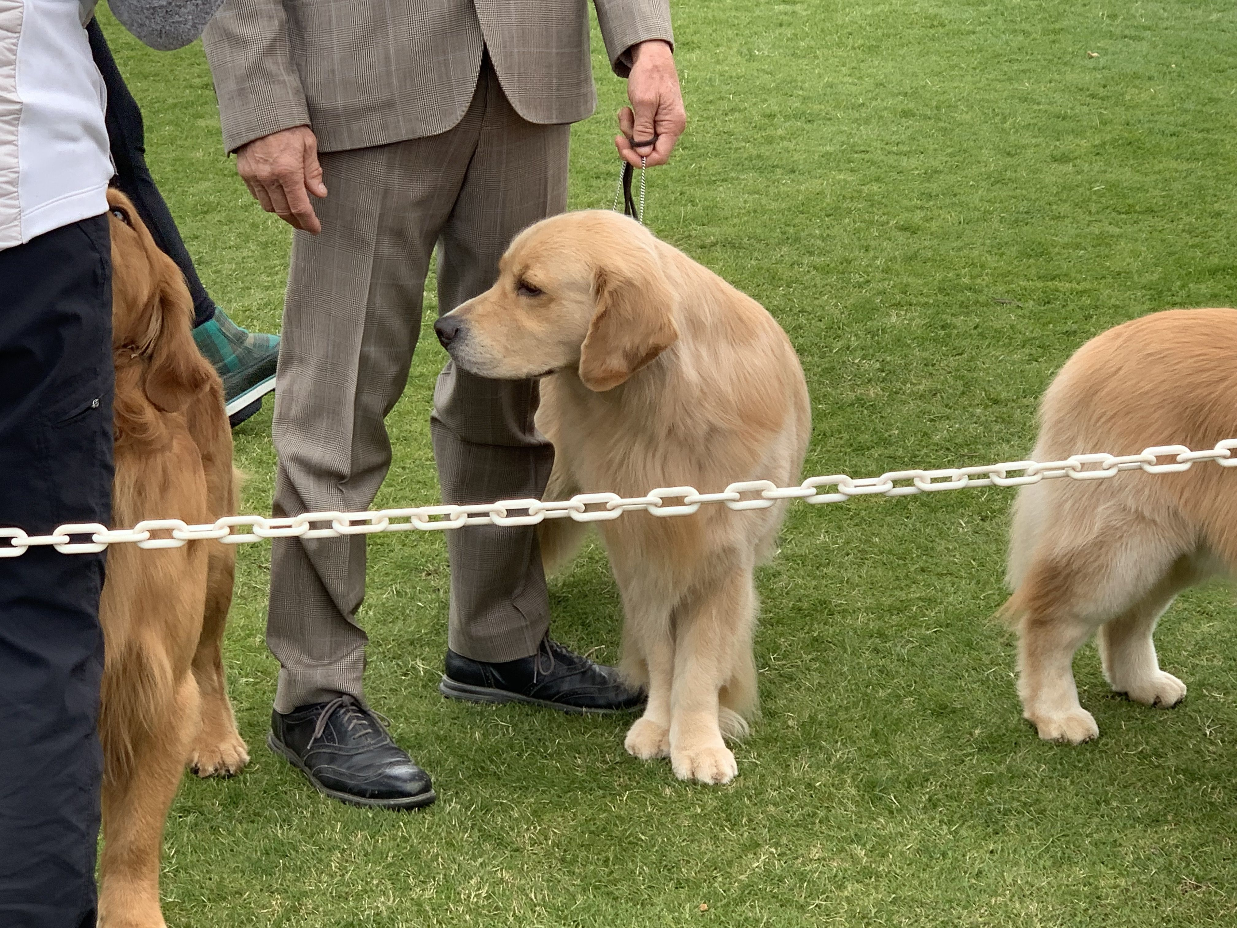 Golden Retrievers In The Ring At The Akc All Breed Show Palm