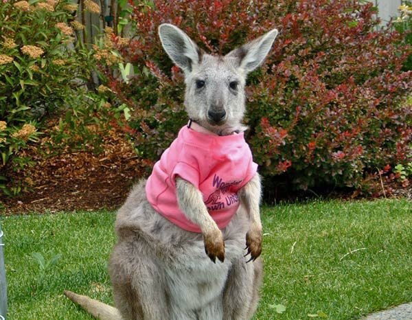 Baby Walllaro In A T Shirt Wallaros Are In Between Wallaby S And Kangaroos In Size But Stockier I Have Just Disco Pet People Weird Animals Animals Beautiful
