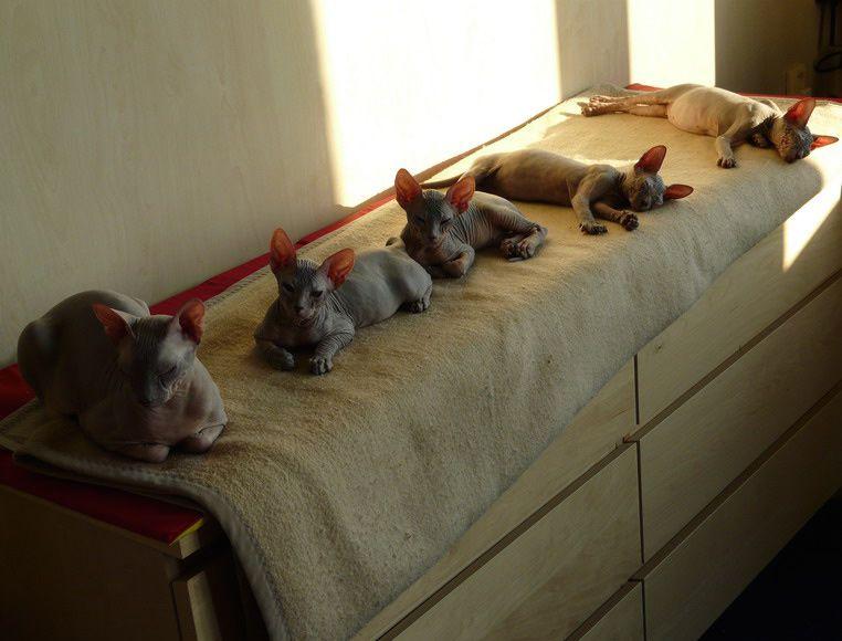 Sphynx Kittens For Sale Las Vegas