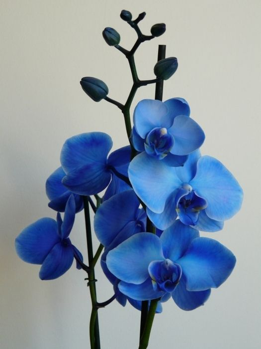 Phalaenopsis Royal Blue 3 Pure Love Blue Orchid Flower Orchid Photography Orchids Painting