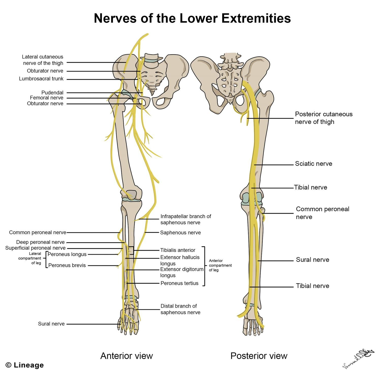 Image Result For Nerve Supply To The Lower Limb Anatomy