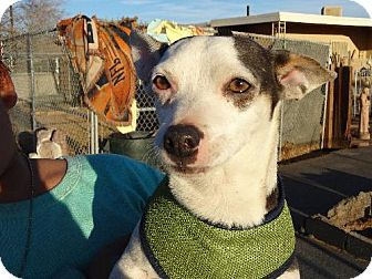 Apple Valley, CA Jack Russell Terrier/Chihuahua Mix