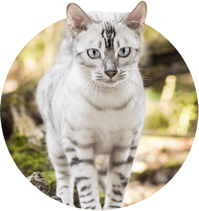 Bengal Kittens Cats For Sale Near Me Bengal Kitten White Bengal Cat Bengal Cat