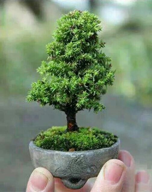 Pin di dony mugnai su bonsai mini e for Alberi piccoli da giardino