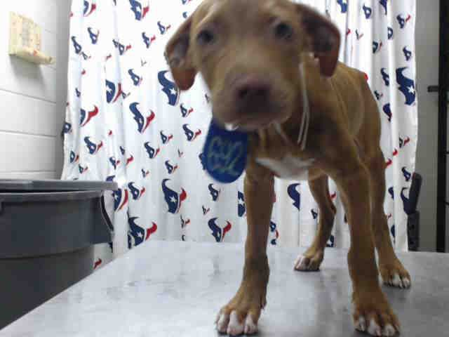 This Dog Id A463158 Located At Harris County Animal Shelter In Houston Texas Female Lab Retriever At The Shelter S Animal Shelter Animals Dog Adoption