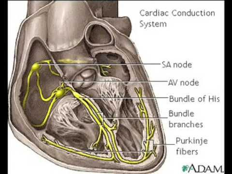 Conducting System Of The Heart Sa Node Av Node Bundle Of His