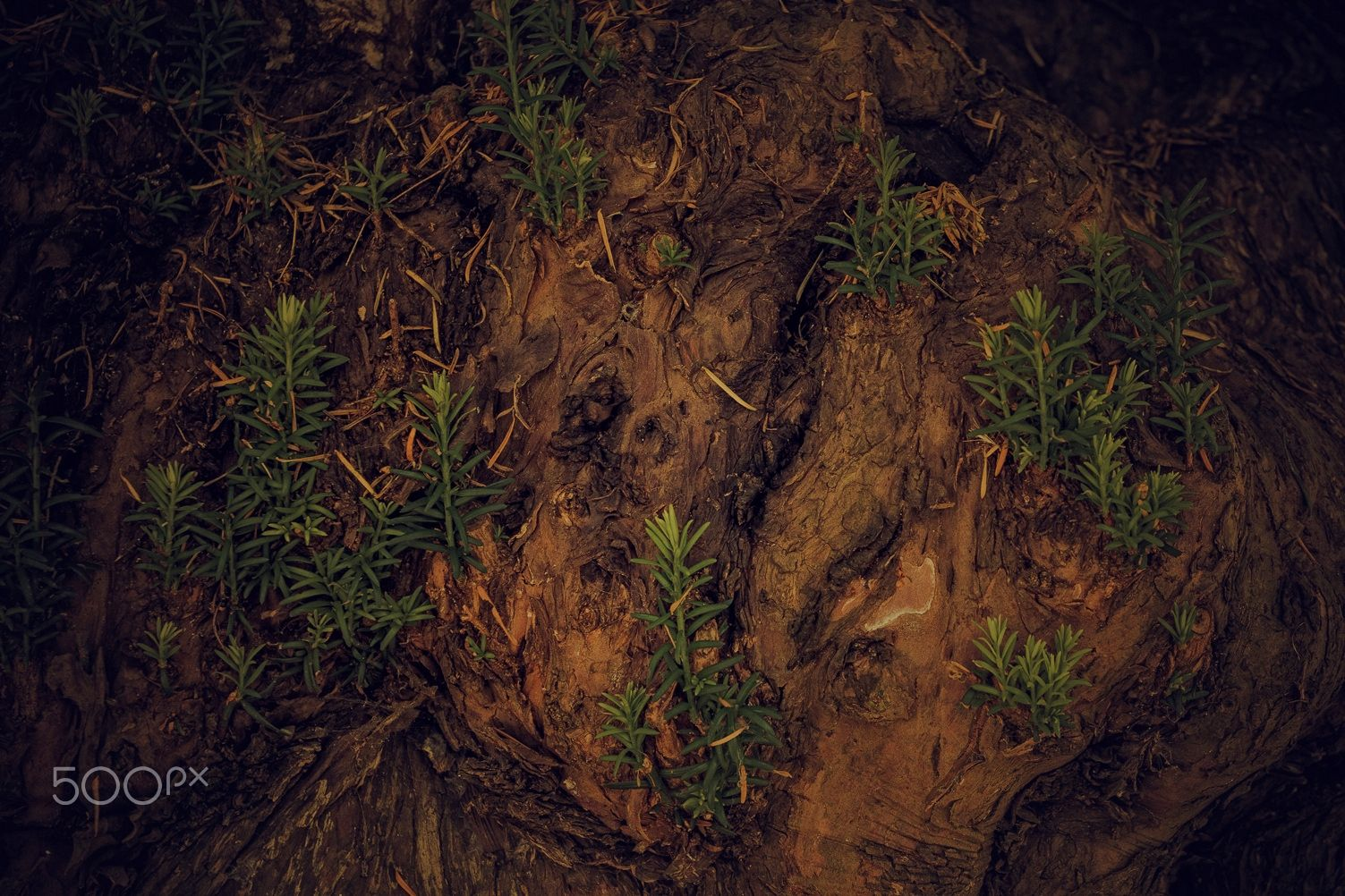 the trunk of a yew 600 years - the trunk of a yew 600 years