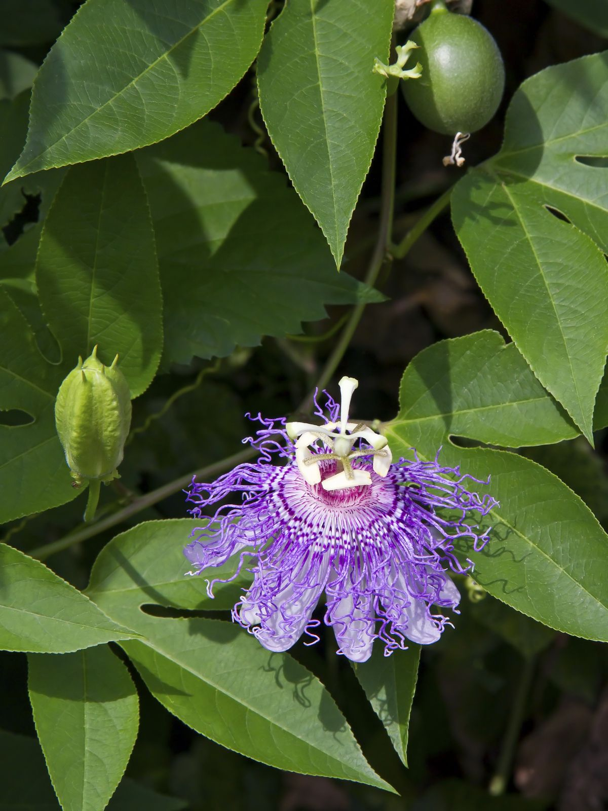 Passion Flower Not Fruiting Why Passion Vine Flowers But Has No Fruit Passion Fruit Flower Passion Fruit Plant Flowering Vines