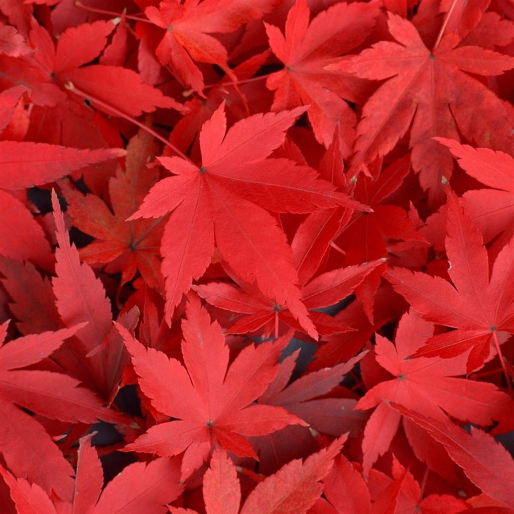 Pure Autumn Red Maple Leaves Overlap Ipad Air Wallpaper Download Iphone Wallpapers Ipad Wallpapers One Red Maple Tree Leaf Ipad Air Wallpaper Red Maple Tree