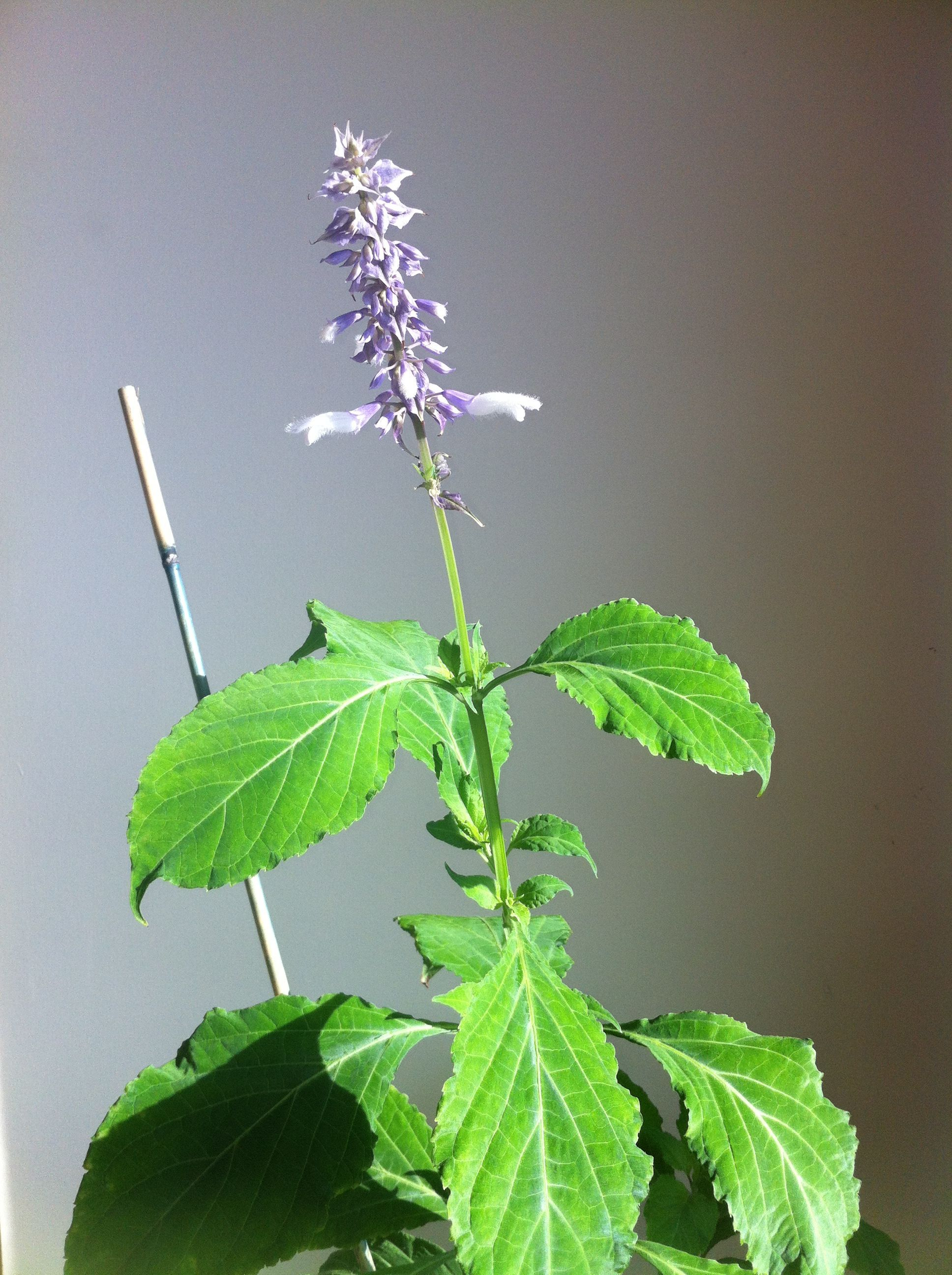 Salvia Flower this is Salvia Divinorum which produced Two viable seeds in Nov 2  Salvia Flower this is Salvia Divinorum which produced Two viable seeds in Nov 2014 plante...