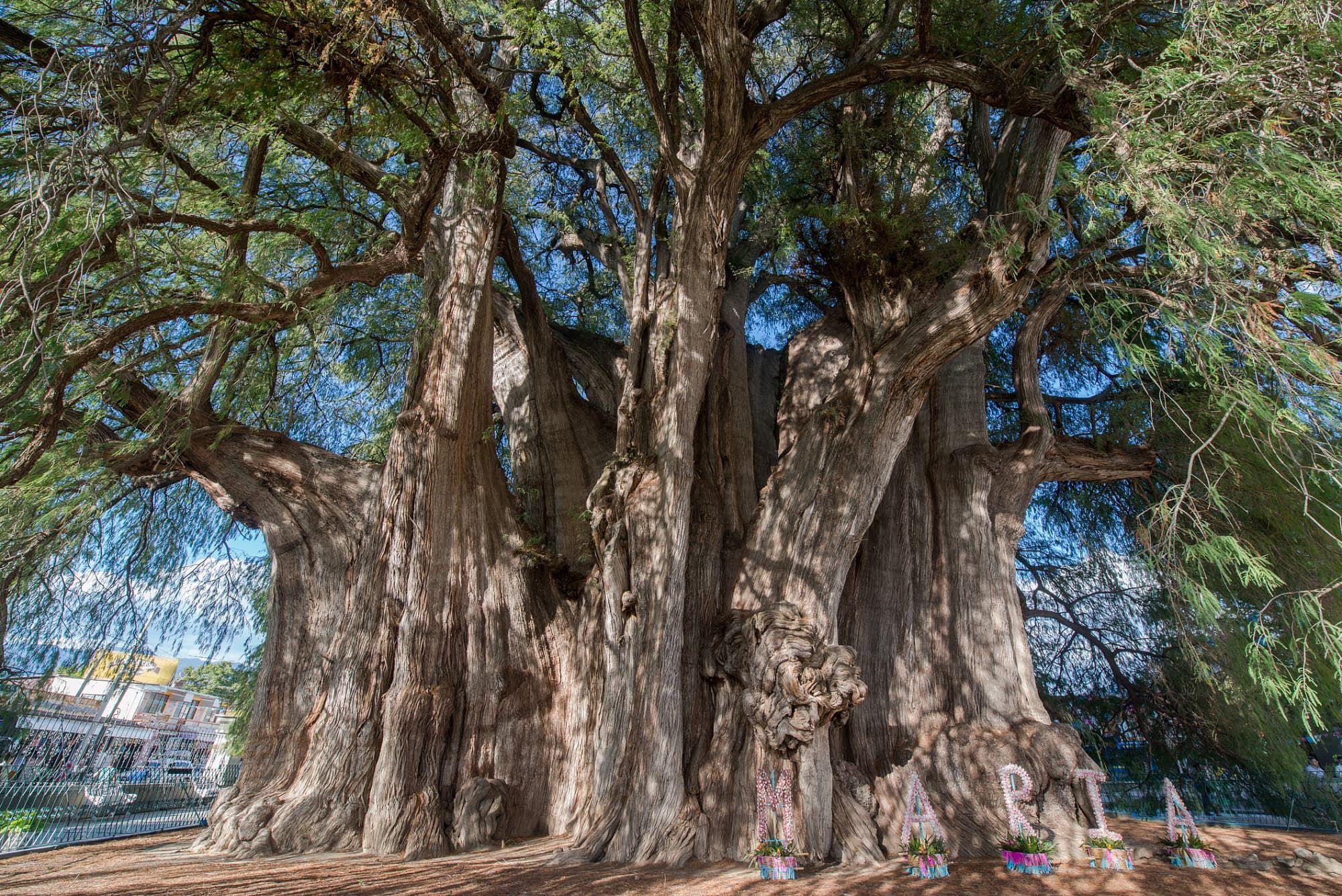 Botanik 10 Eindrucksvolle Baume Aus Aller Welt Baum Riesenmammutbaum Pflanzenreich