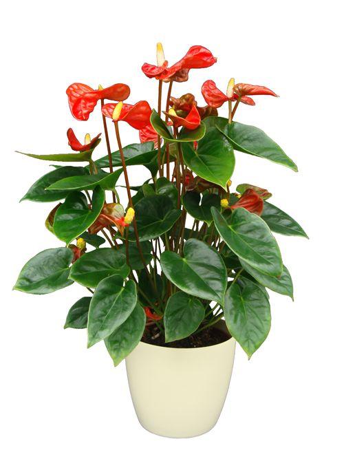 Anthurium Plants Anthurium Pot Plant Shiny Red 3 2527 Plants Potted Plants Anthurium