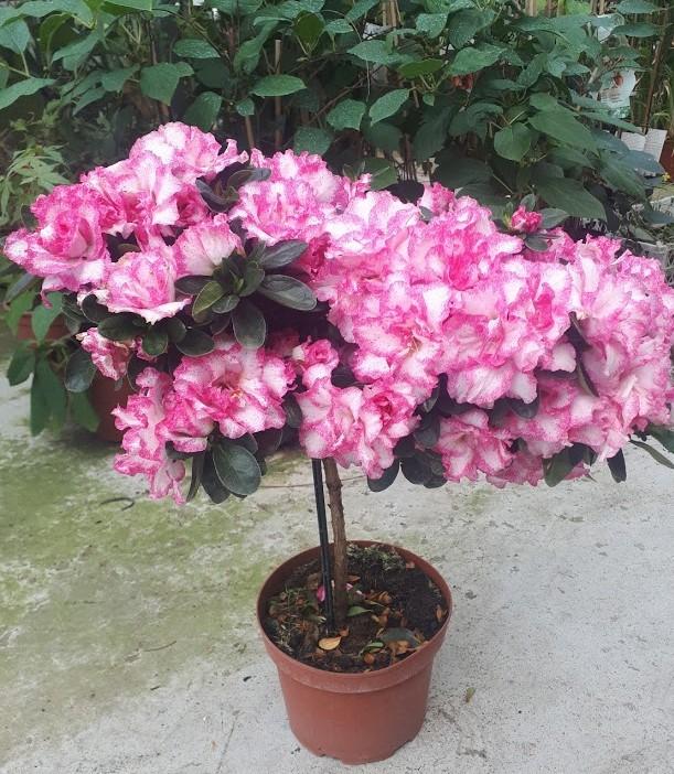 Azalea Flor Bicolor En Copa Para Macetas O Jardin Venta Online Con Regalo Macetas Jardineria En Macetas Bicolor