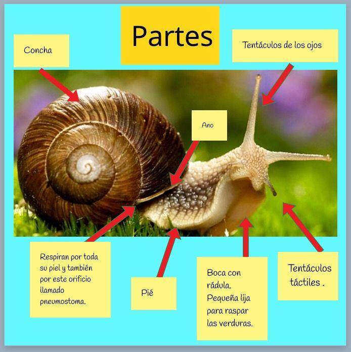 Reme Bayarri . Proyecto Infantil Caracoles .Anatomía del caracol ...