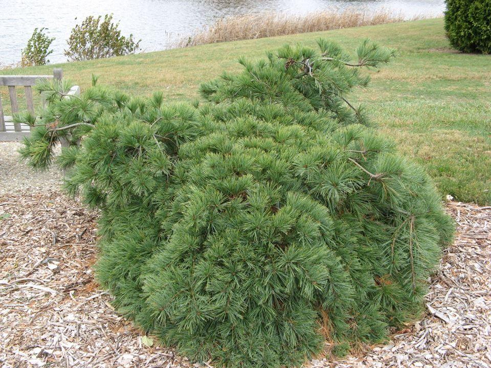 Pinus Strobus'Shaggy Dog' strobusmänty Puut