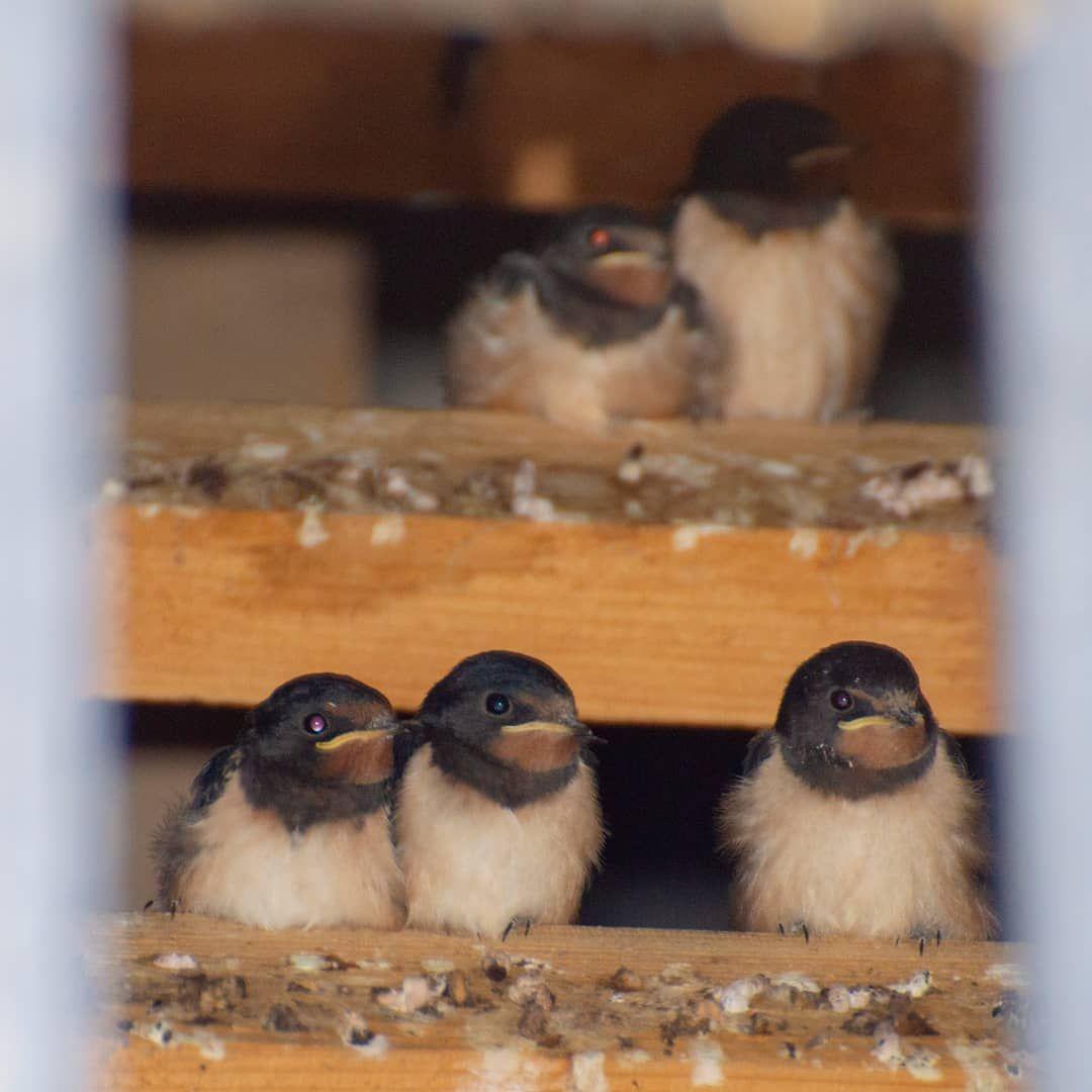 The Barn Swallow (Hirundo rustica) is the national bird of ...